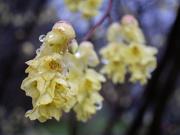 15th Apr 2021 - Blooming in rain