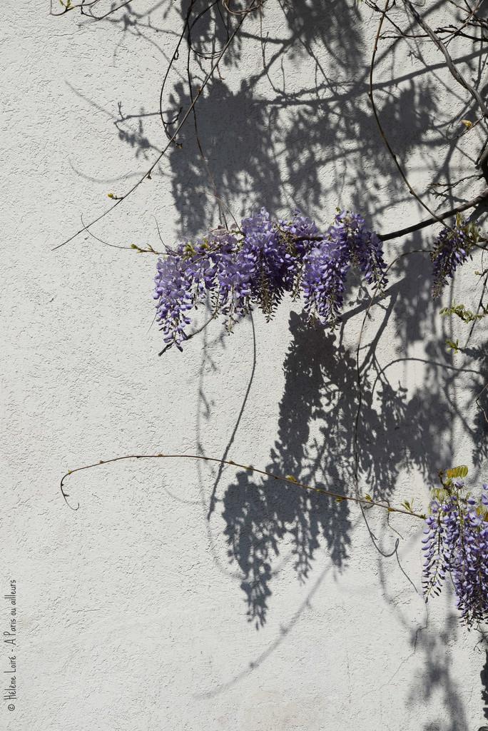 wisteria by parisouailleurs