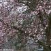 My Neighbor's Magnolia
