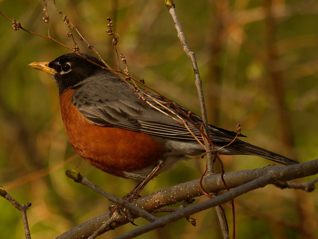 American robin closeup  by rminer