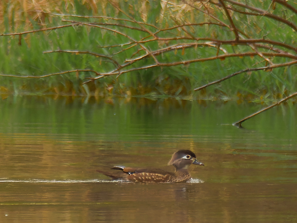 female wood duck  by rminer