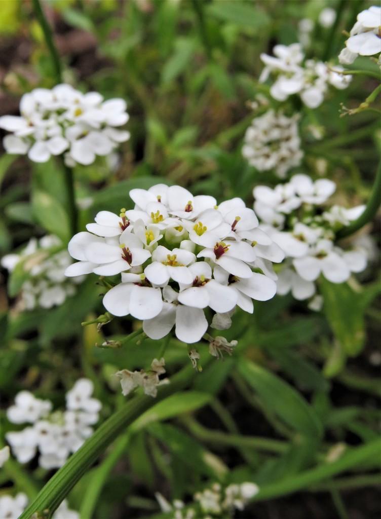 Tiny White Flowers  by jo38