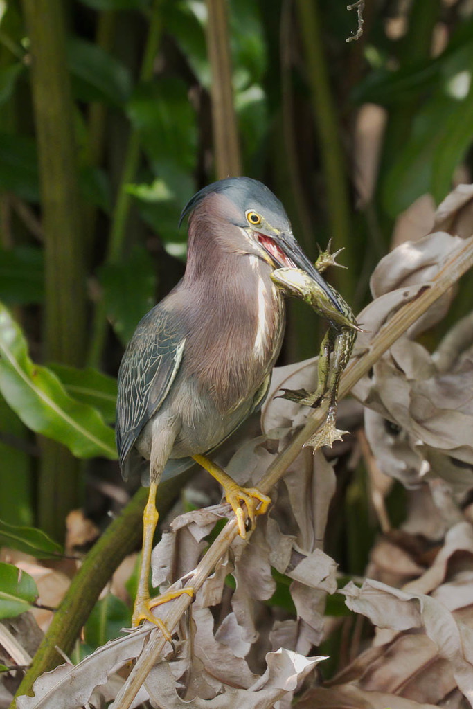 Green heron showing of his catch.  by dutchothotmailcom