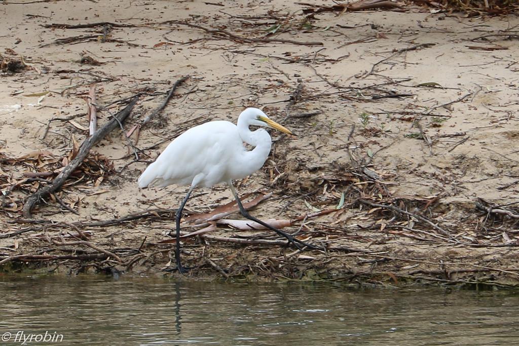 Egret by flyrobin