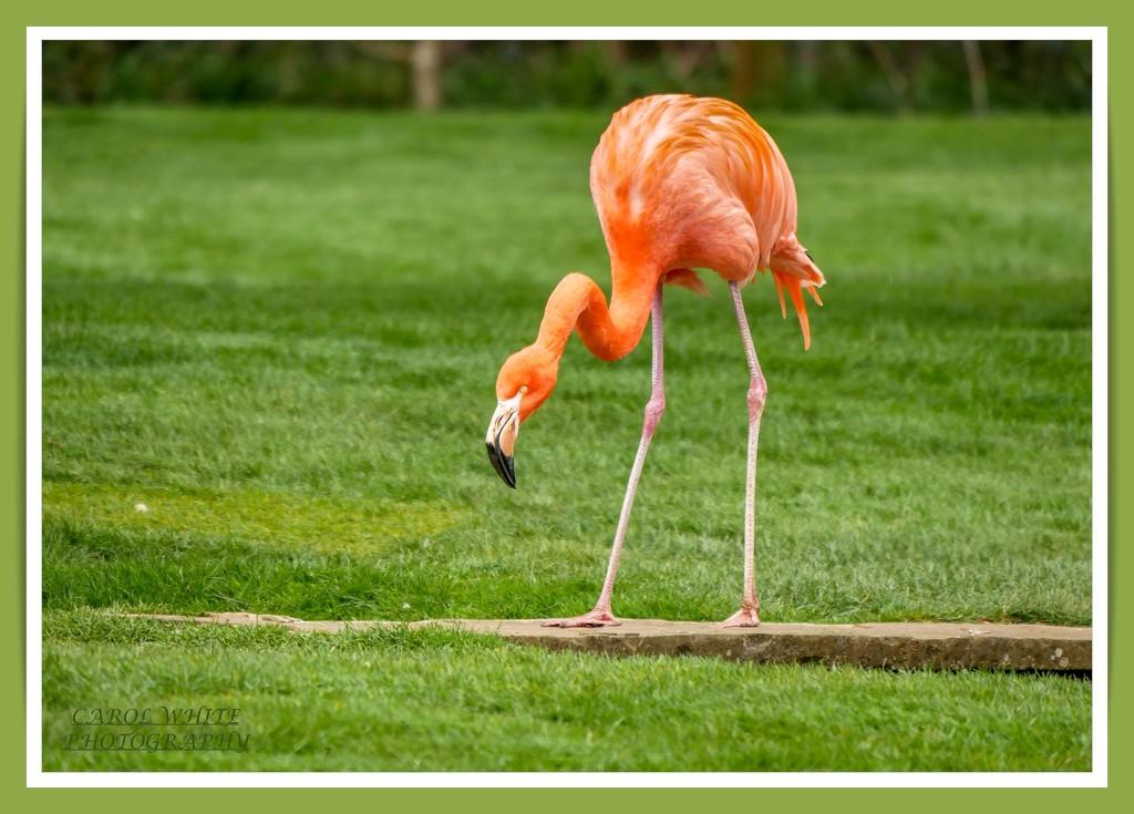 Flamingo Friday,Crossing The Bridge by carolmw