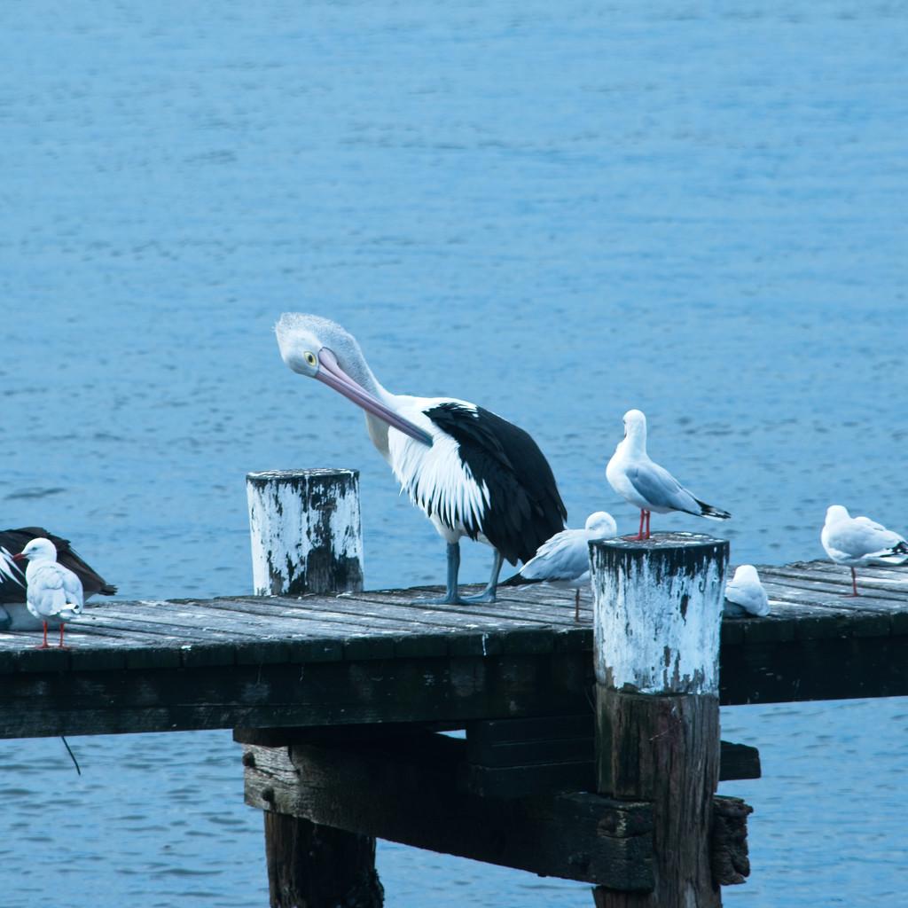 Pelican preening by fr1da