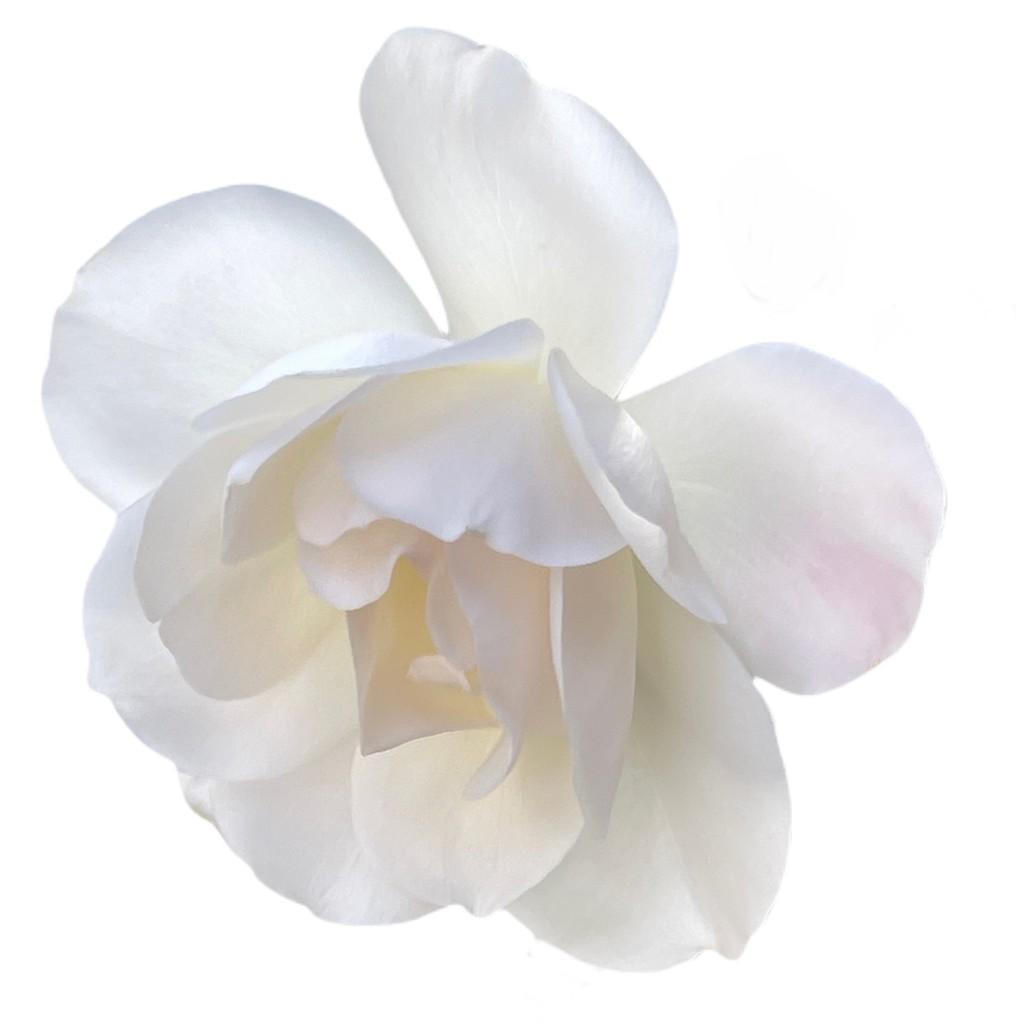 White Rose on White by kathyboyles