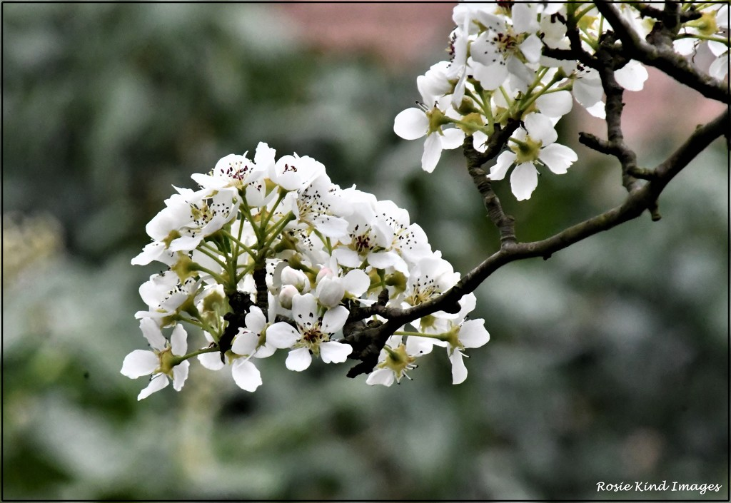 Pear blossom by rosiekind