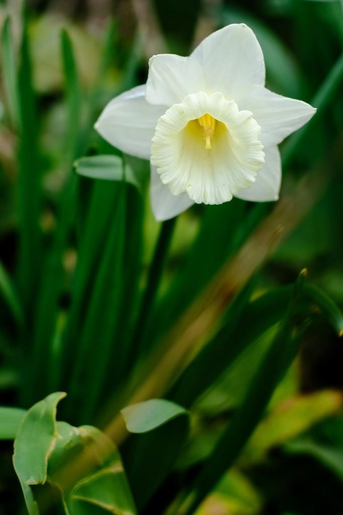Daffodil 13 by 4rky