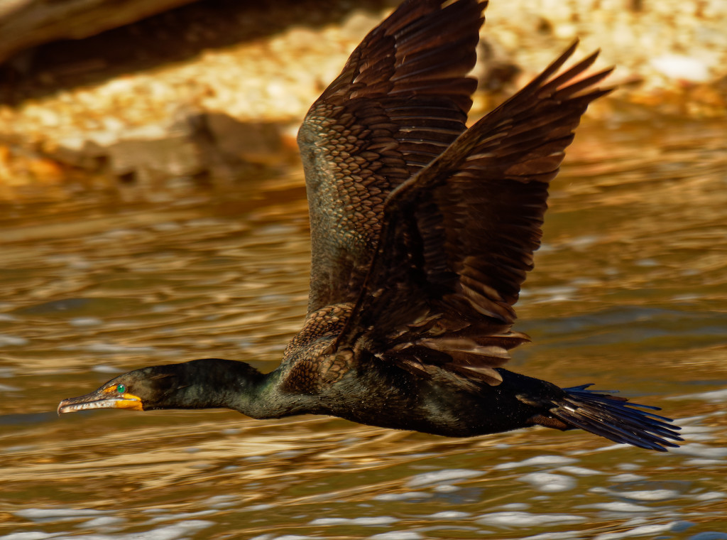 double-crested cormorant in flight by rminer
