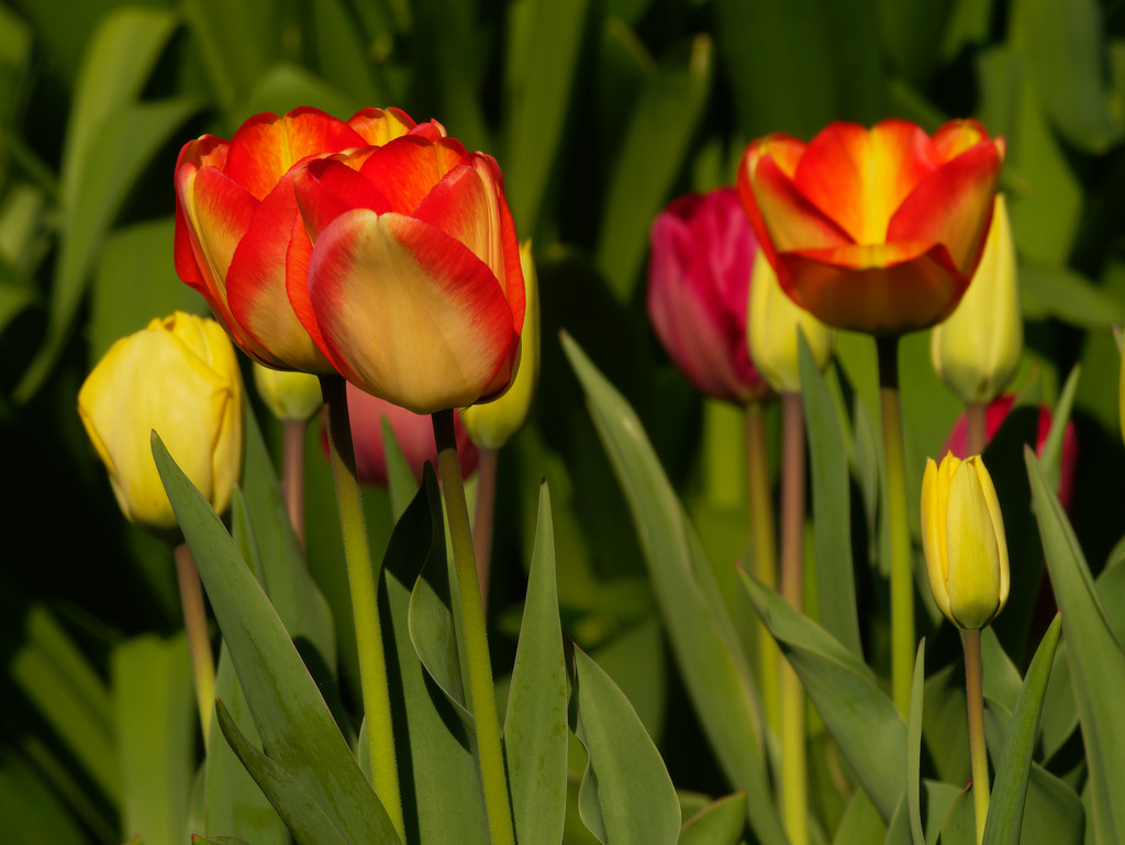 tulips by rminer