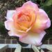 Lori's Pink rose