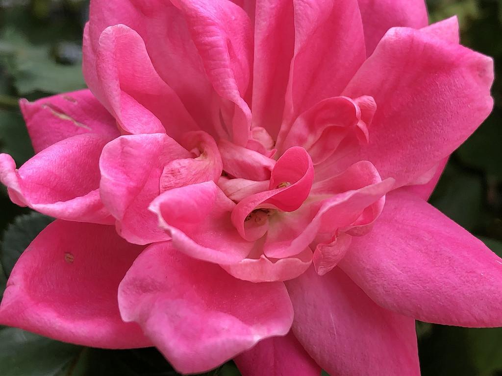 Pink rose by homeschoolmom