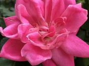 14th Apr 2021 - Pink rose