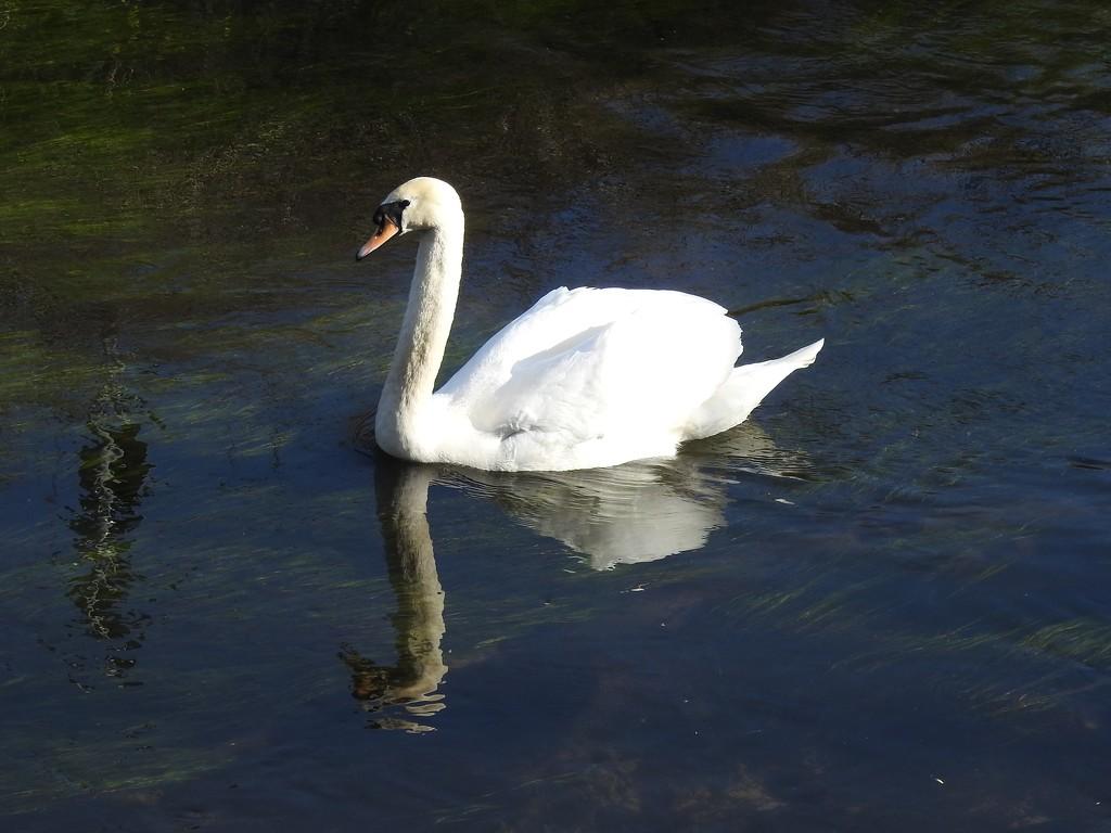 Swan on the Leen by oldjosh