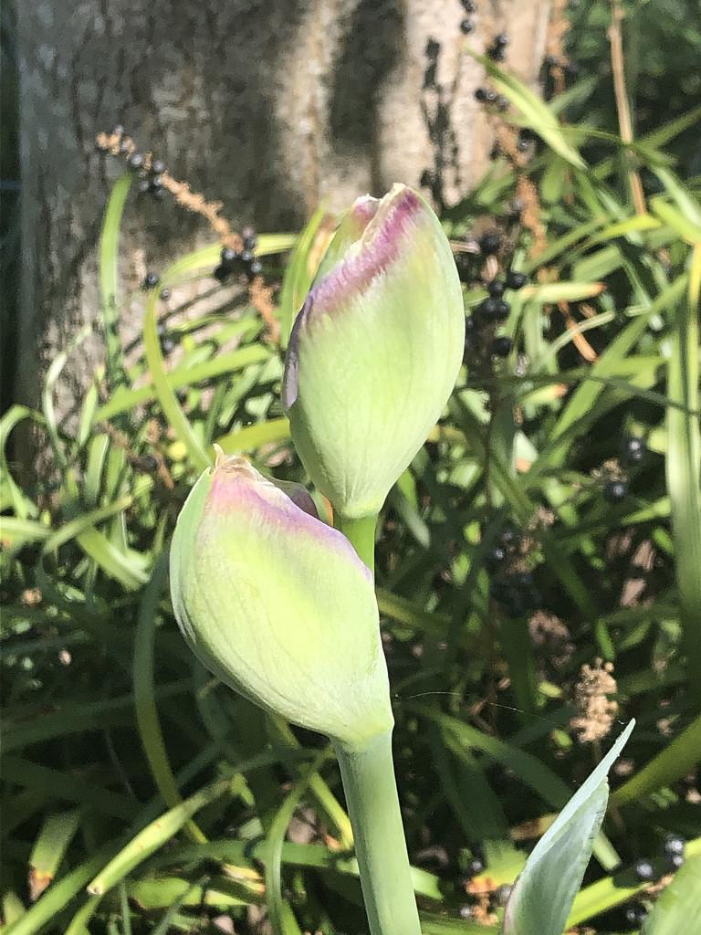 Iris in sunlight by homeschoolmom