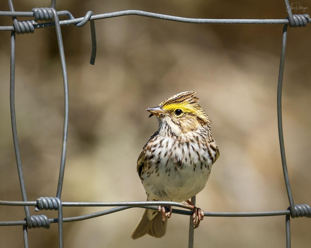 Sparrow Framed  by jgpittenger