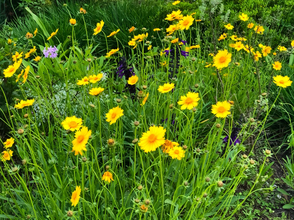 Lance-leaved coreopsis by congaree