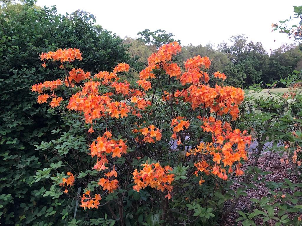Flame azalea by congaree