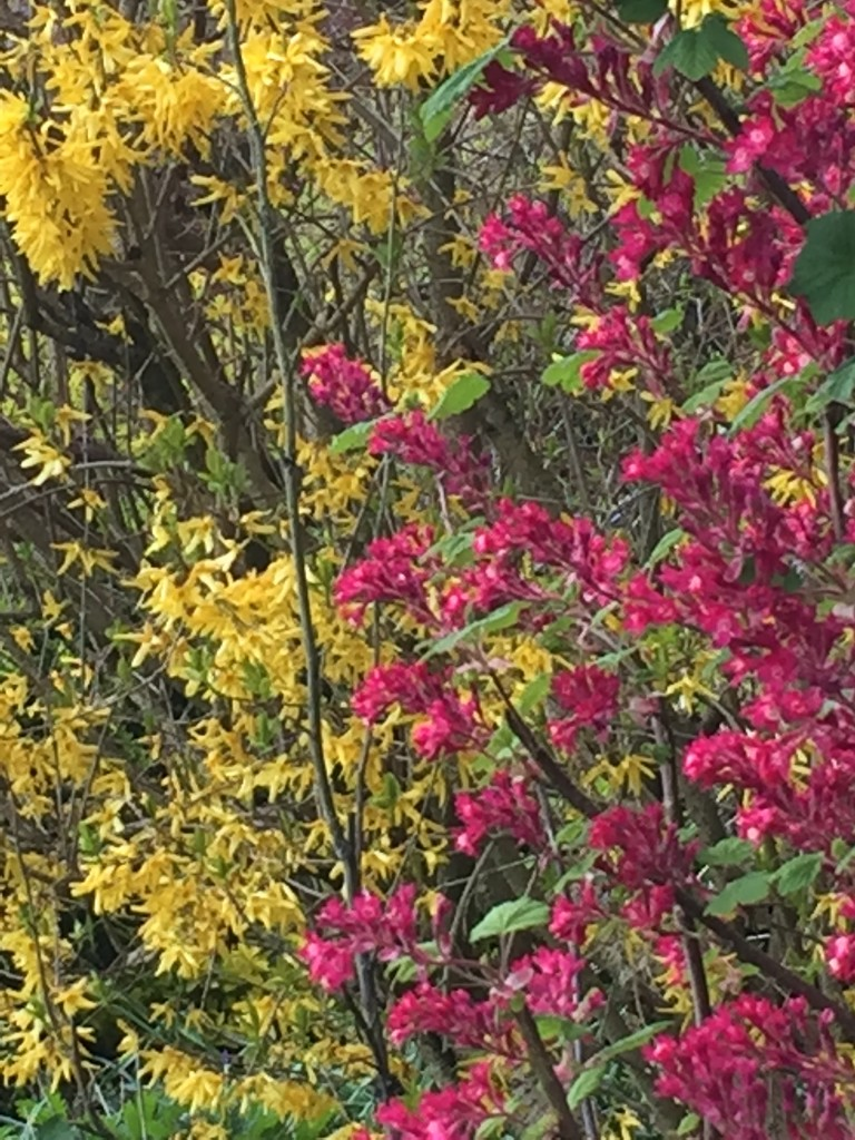 Forsythia and Ribes by snowy