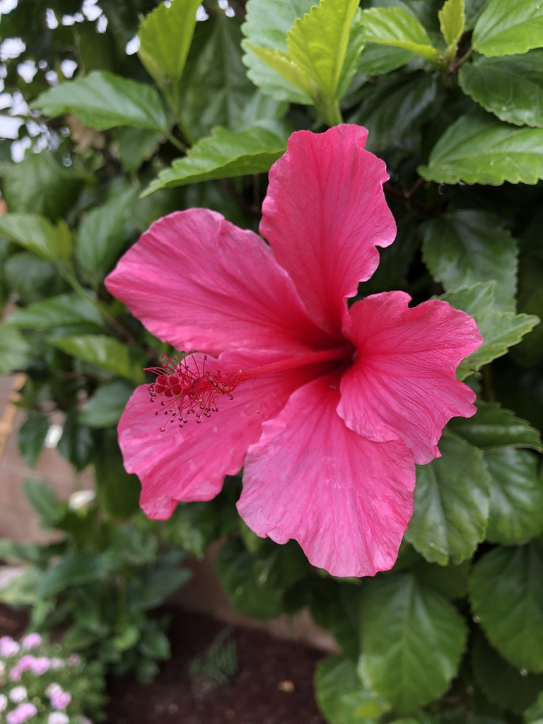 Hibiscus  by loweygrace