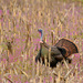 Strutting Turkey in a Field of Henbit