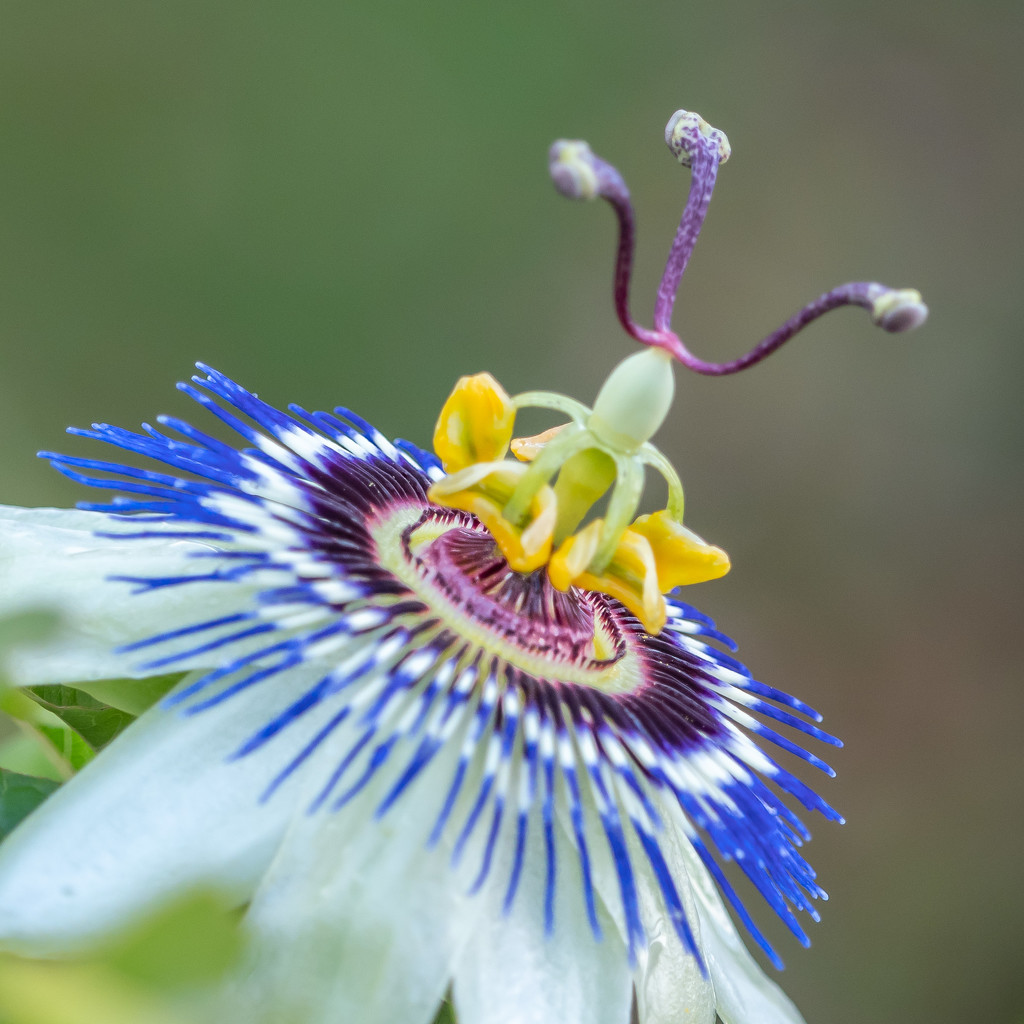 Passion fruit by gosia
