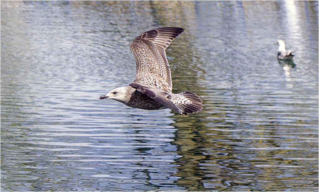 Juvenile Seagull by pcoulson