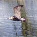 Juvenile Seagull