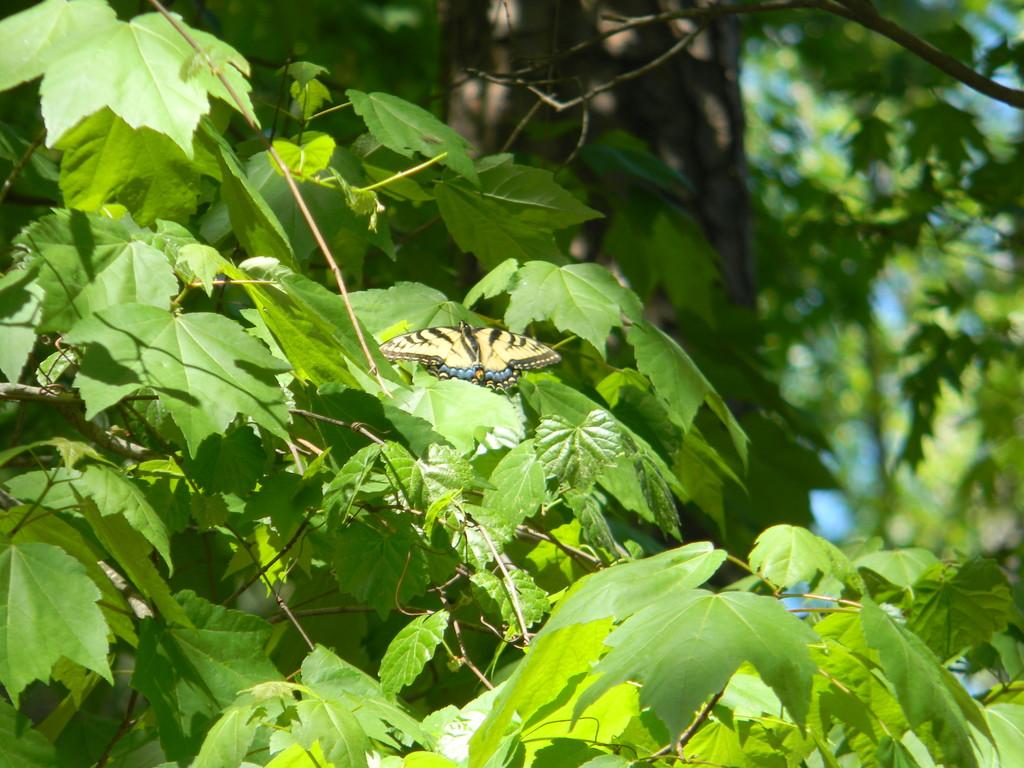 Butterfly in Maple Leaves by sfeldphotos