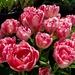 Tulip Farm - Pink