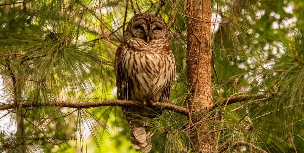 Barred Owl in the Pine Tree! by rickster549