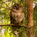 Barred Owl in the Pine Tree!
