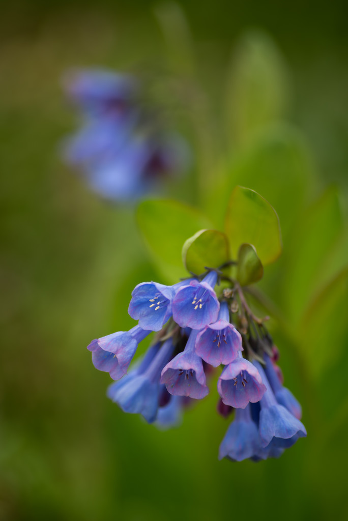 virginia bluebells by jackies365