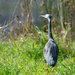 Heron by the Hutt River