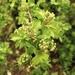Hawthorn flower Buds