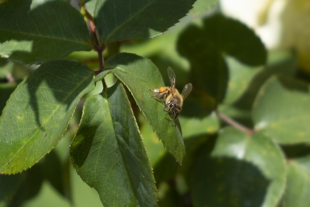 Bee on Leaf by mrslaloggie