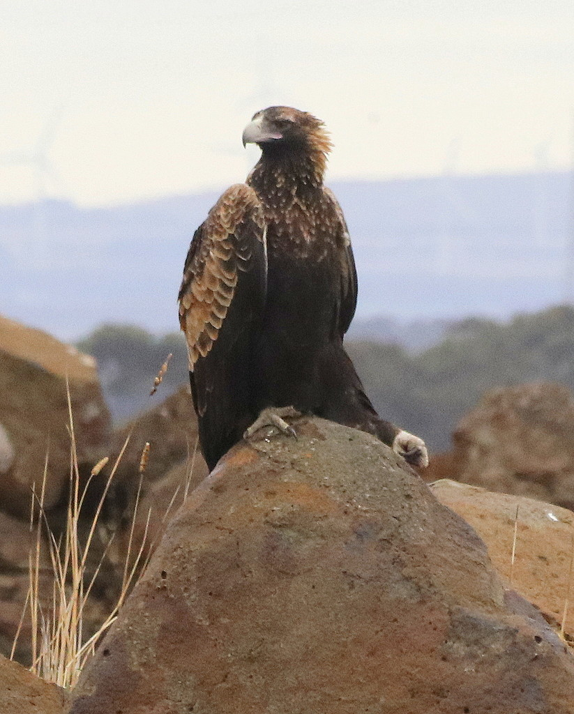Mr Regal Eagle by gilbertwood
