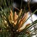 Pine pollen makers...