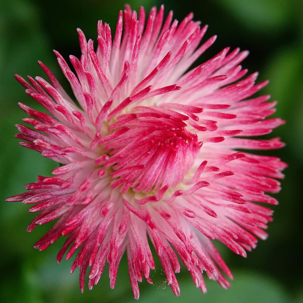 Pink Habarnara English Daisy by milaniet