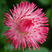 Pink Habarnara English Daisy