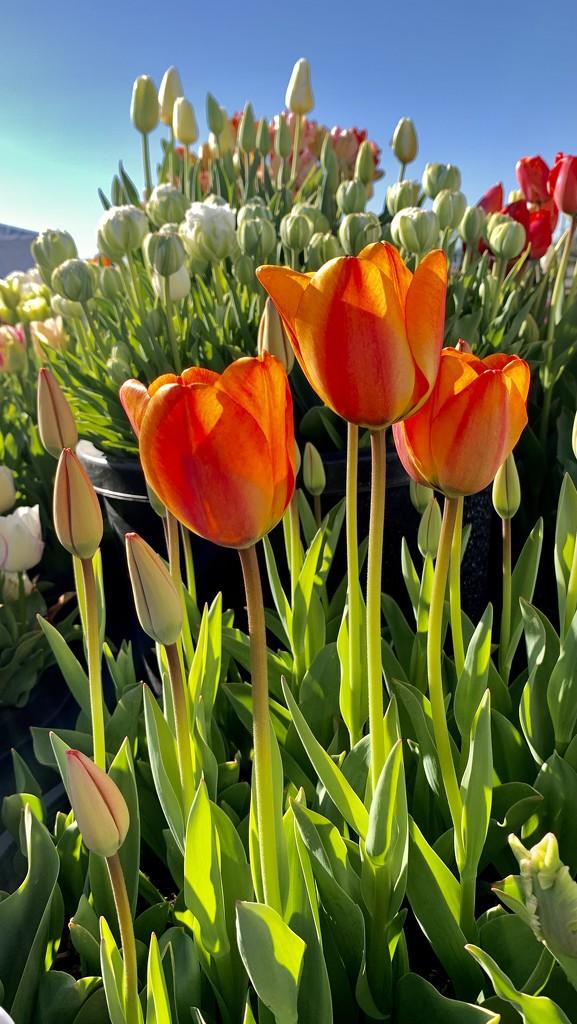 Tulip Farm Orange by tripleduck
