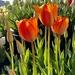 Tulip Farm Orange