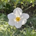 Pretty narcissus