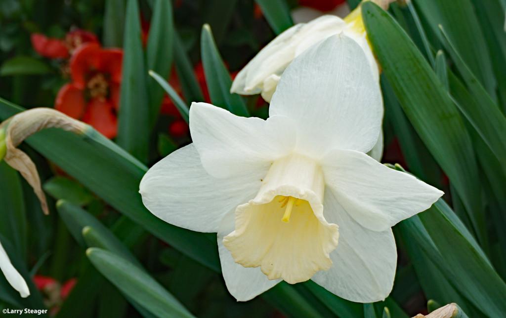 White Daffodil  by larrysphotos