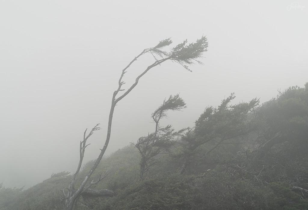 Foggy Windblown Trees  by jgpittenger