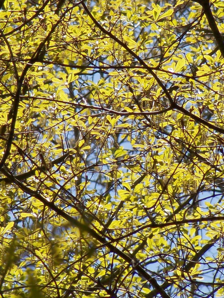 Oak catkins... by marlboromaam