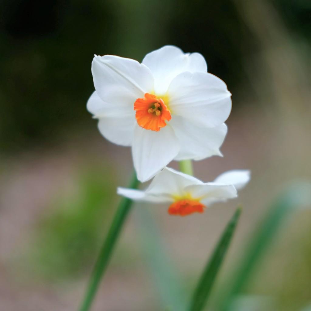 Daffodil 17 by 4rky