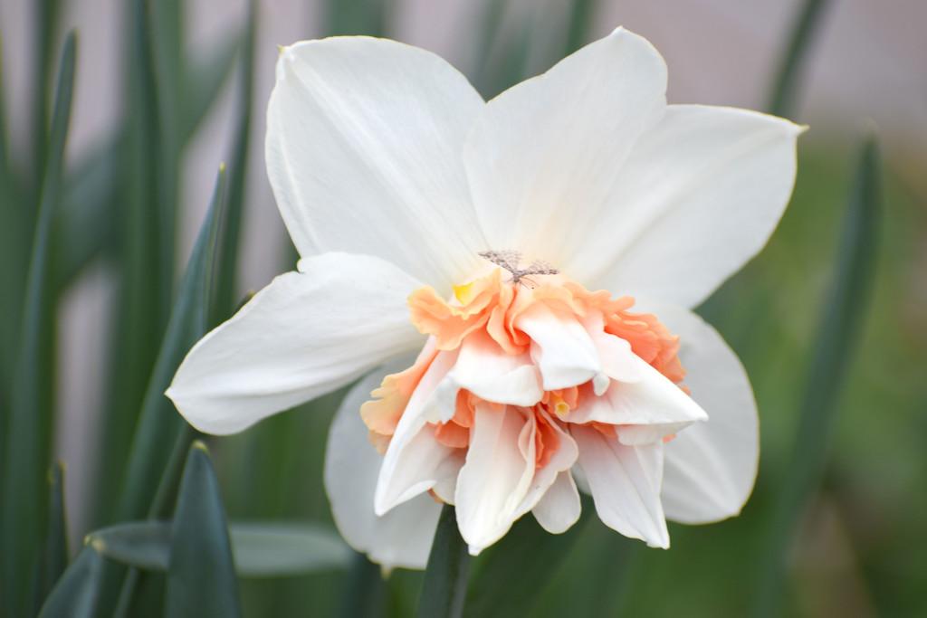 Daffodil Variety by bjywamer