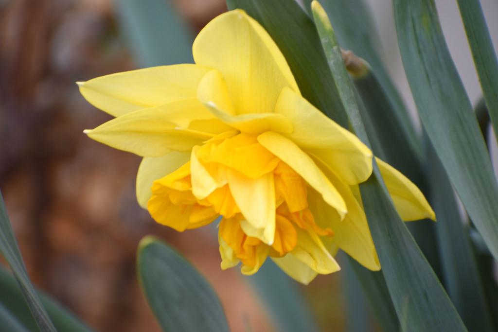 Ruffly Daffodil by bjywamer
